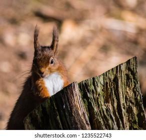 Red Squirrel Peeking