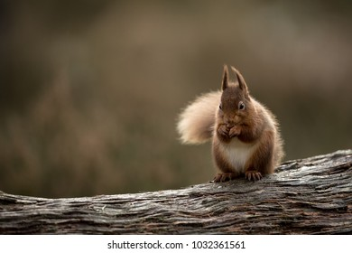 Red squirrel perched on a log head on eating a hazelnut with muted green and brown background.