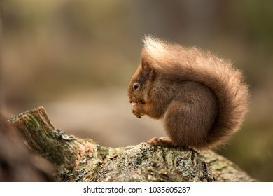 Red Squirrel perched on a log eating a hazelnut with a brown background.