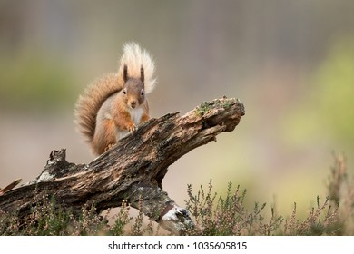 Red Squirrel perched on a log with a green and brown background and heather in the foreground.