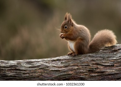 Red squirrel perched on a side on eating a hazelnut with muted green and brown background.
