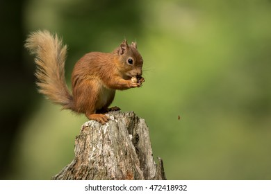 Red Squirrel perched on a tree stump eating a nut with a green foliage background.