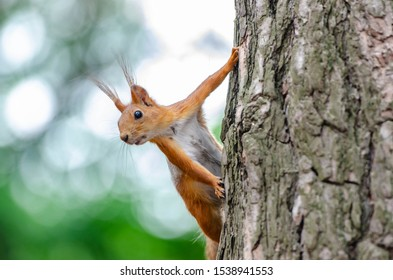 red squirrel in a pine forest with a pine cone