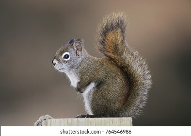 Red Squirrel, Pine Squirrel, Tamiasciurus hudsonicus, adult, Homer, Alaska, USA, March