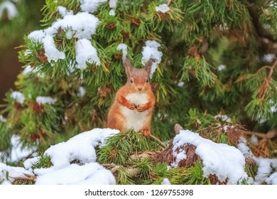 Red squirrel in pine tree, County of Northumberland, England