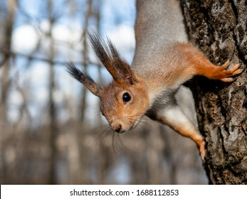 Red squirrel posing on a tree. Portrait of a funny furry squirrel with funny furry ears sitting on a tree/