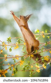 red squirrel reaching on a Forsythia branch