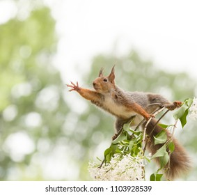 red squirrel reaching out on a lilac  branch