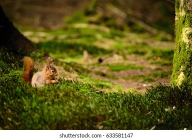 Red squirrel routing through a tourist's bag, Yorkshire Dales