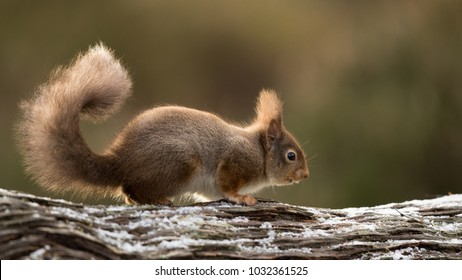 Red Squirrel running along a snow dusted log with his tailed culred up and a green backround.
