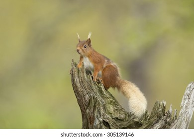 Red Squirrel Sat On A Old Log.