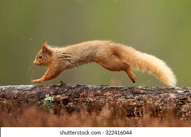 赤リス (尋常性サイウルス)英国スコットランド、カーンゴルムス国立公園