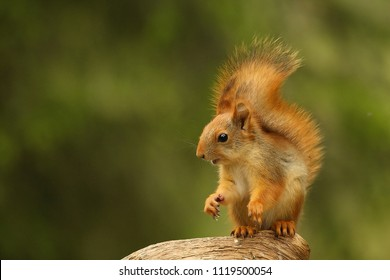 A red squirrel (Sciurus vulgaris) also called Eurasian red sguirrel sitting in branch in a green forest. Squirrel head with a green background.