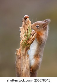 Red Squirrel, Sciurus vulgaris, climbing to reach a nut