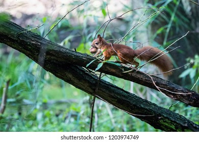 Red squirrel, Sciurus vulgaris, Cute arboreal, omnivorous rodent . Portrait of eurasian squirrel in natural environment carries nuts.
