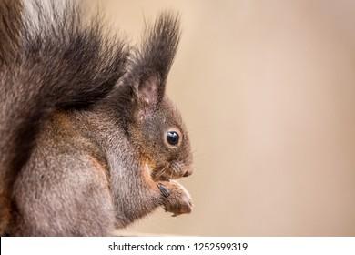 Red squirrel, Sciurus vulgaris, Cute arboreal, omnivorous rodent . Portrait of eurasian squirrel with blurred background.