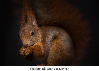 Red squirrel, Sciurus vulgaris, Cute arboreal, omnivorous rodent . Portrait of eurasian squirrel with blurred dark background.