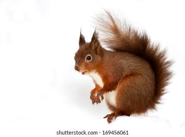 Red Squirrel (Sciurus Vulgaris) in deep snow, England.