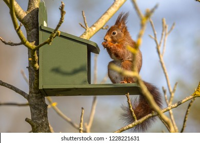 Red Squirrel (Sciurus vulgaris) eating on feeder in tree and looking at camera