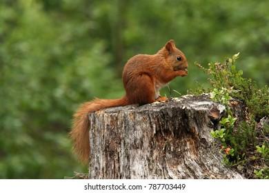 Red Squirrel (sciurus vulgaris) feeding, sitting on tree stump. Wild animal, Norway.