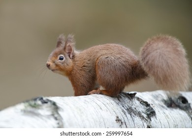 Red Squirrel, Sciurus vulgaris, in the forest climbing on a tree