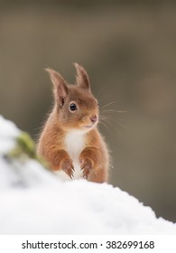 Red Squirrel (Sciurus vulgaris) in the forest in the snow