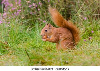 Red Squirrel (Sciurus vulgaris) in the Galloway Forest Park, Scotland