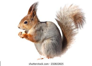 Red squirrel (Sciurus vulgaris) holding a hazelnut.