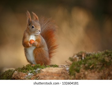 Red squirrel, Sciurus vulgaris, looking right and holding a hazelnut