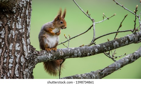 The red squirrel (Sciurus vulgaris) on an oak branch with a green defocused background