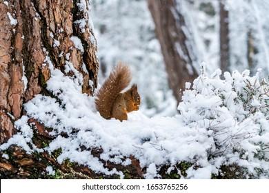 Red Squirrel (Sciurus vulgaris) on snow covered wooden branch in Scotland - selective focus