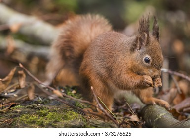 Red squirrel, Sciurus vulgaris, on a tree trunk eating a nut