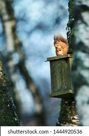 Red squirrel (Sciurus Vulgaris) perched on a wooden bird nest box in a tree.