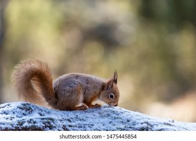 Red Squirrel (Sciurus vulgaris) perched on log, Scotland