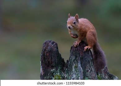 red squirrel, Sciurus vulgaris, posing on an old stump in a pine forest cairngorms NP, scotland, august.