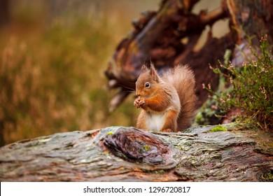 Red squirrel, Sciurus vulgaris in Scotland