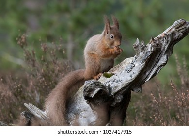 red squirrel, Sciurus vulgaris, sitting and walking on pine branch during a sunny day in the pine forest of cairngorms national park, scotland.