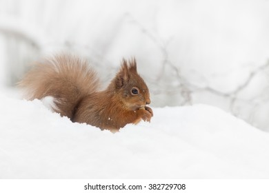 Red Squirrel (Sciurus vulgaris) sitting in the snow eating a nut