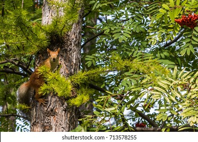 Red squirrel sits on a branch
