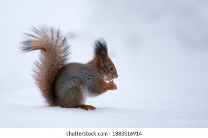 Red squirrel sits on snow and holds a nut stock photo. Squirrel sits in winter forest or park