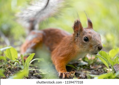 Red squirrel is sitting in the grass of the park. close-up view with bokeh