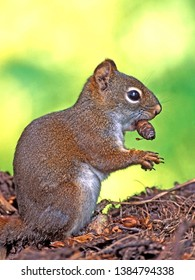 Red Squirrel sitting on forest ground holding fir cone in mouth.