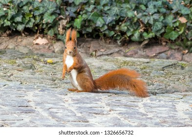 red squirrel is sitting on the path