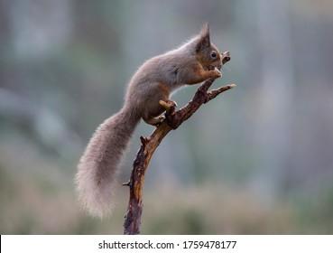 Rotes Eichhörnchen. Eichhörnchen auf Baumzweig im Wald