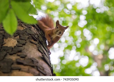 red squirrel sitting on a tree among green leaves