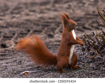 Red Squirrel sleepwalking