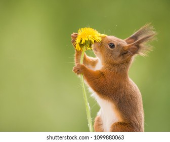 red squirrel is smelling an dandelion