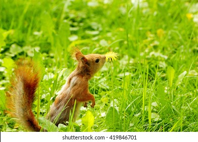 red squirrel is sniffing a dandelion