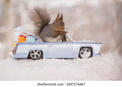 red squirrel in snow with an car and eggs