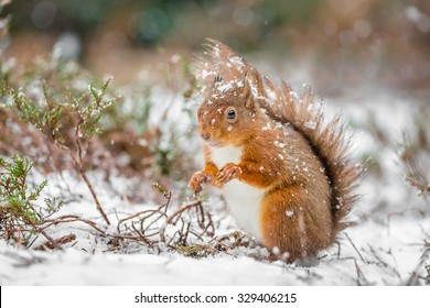 Red squirrel in snowfall, County of Northumberland, England